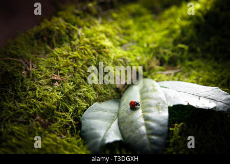 Insect ladybug in the forest sitting on a leaf on a stump covered with green moss.Texture.Background. - Stock Photo