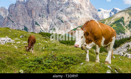 Piebald brown and white cow close up in clean mountain landscape - Stock Photo