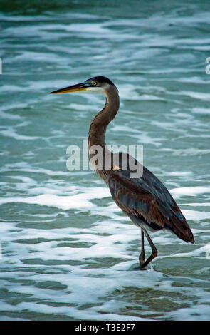 A great blue heron fishes in the surf, Dec. 25, 2011, in Dauphin Island, Alabama. - Stock Photo