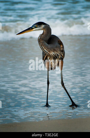 A Great Blue Heron stands in the surf on Dauphin Island, Alabama, Dec. 25, 2011. - Stock Photo