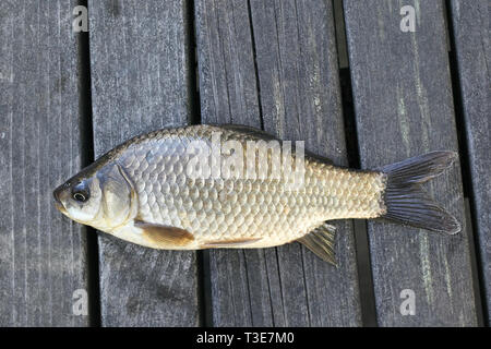 Prussian carp, silver Prussian carp or Gibel carp, Carassius gibelio, a harmful invasive species - Stock Photo