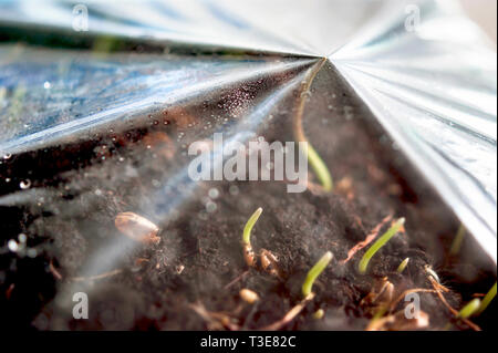 Green Grass Sprouts Growing Out From Soil Pressing Against the Poly Cover. Gardening, Greenhouse, Breaking Through Concept - Stock Photo