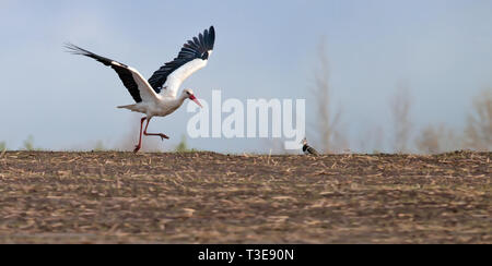 White Stork running on the field and taking off - Stock Photo