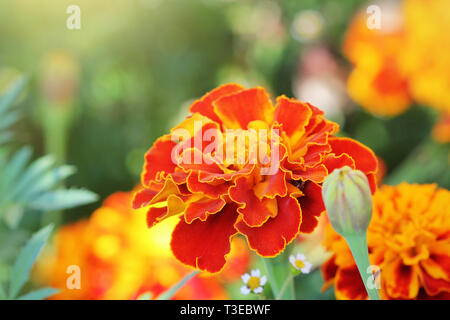 Orange beautiful Marigold flower (Tagetes erecta, Mexican, Aztec or African marigold) in the garden. - Stock Photo