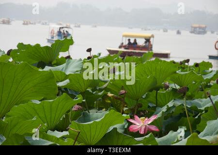 Pink lotus flower and lotus leaves in foreground on Chinese lake. Tourist peddle boats (pedalos) on misty lake in background. Summer Palace, Beijing - - Stock Photo