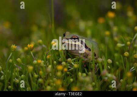 Pacific Chorus Frog Pseudacris regilla in a California Vernal Pool - Stock Photo