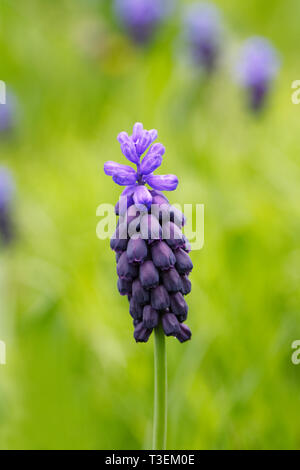 Muscari latifolium. Grape hyacinth in the garden. - Stock Photo