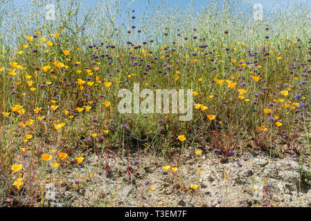 Beautiful wild flowers - a part of the superbloom event in the Walker Canyon mountain range near Lake Elsinore, Southern California - Stock Photo