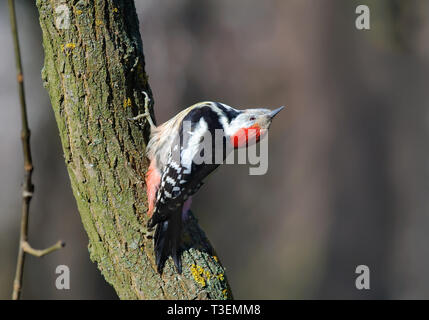 Middle Spotted Woodpecker posing on a trunk with turned head - Stock Photo