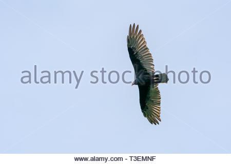 red-headed vulture (Sarcogyps calvus) Costa Rica - Stock Photo