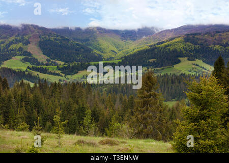 High slender spruce on the slopes of the Carpathian Mountains. Panorama of the summit in the Carpathians in summer against the blue sky and white clou - Stock Photo