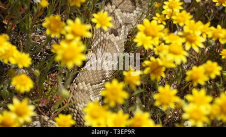 Rattlesnake in yellow flowers during the Super Bloom 2019, Antelope Valley Poppy Reserve, California - Stock Photo