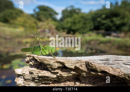 Great Green Bush Cricket; Tettigonia viridissima; Male; Cornwall; UK - Stock Photo