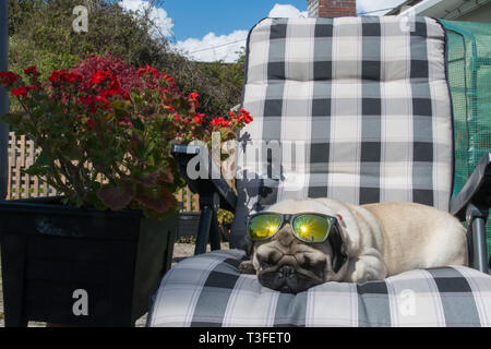 Mousehole, Cornwall, UK. 9th April 2019. UK WEather. Titan the pug up out yet again on his sunlounger this afternoon, as temperatures in south west Cornwall went over 16 degrees C. Credit: Simon Maycock/Alamy Live News - Stock Photo