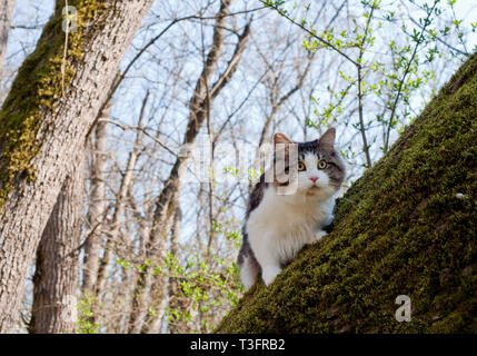Beautiful cat Kurilian bobtail walks in the spring in the park on a leash. Pet sitting on a tree, closeup portrait. Fluffy cat bicolor tabby. - Stock Photo