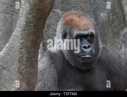 Stern-looking adult mountain gorilla. - Stock Photo