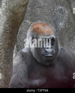 Adult mountain gorilla with serious expression. - Stock Photo
