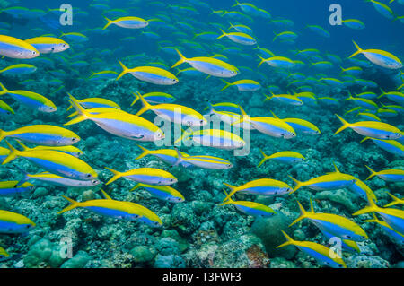 Yellowback fusiliers [Caesio xanthonota] school over coral reef.  Maldives, Indian Ocean.  Indo-West Pacific. - Stock Photo