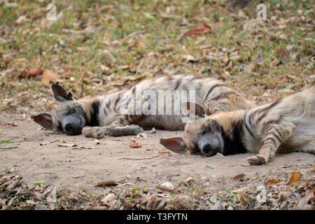 two striped hyena  sleeping on the ground - Stock Photo