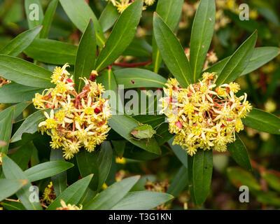 Small yellow flowers of the spring blooming Tasmanian mountain pepper bush, Tasmannia lanceolata - Stock Photo