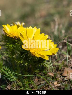 Closeup of pheasants eye flowers (Adonis vernalis) in springtime (Hainburg, Austria) - Stock Photo
