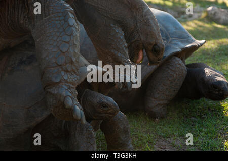 Johnathan Seychelles giant tortoise (Aldabrachelys gigantea hololissa)mating a female in Curieuse Island. - Stock Photo