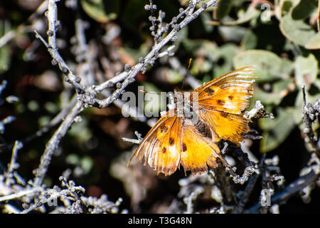 Close up of Satyr Comma butterfly (Polygonia satyrus) with tattered wings, San Francisco bay area, California - Stock Photo