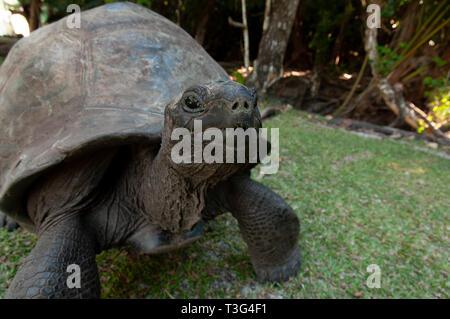 Seychelles giant tortoise (Aldabrachelys gigantea hololissa) in Curieuse Island. - Stock Photo