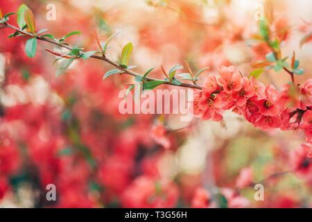 Wild rose bush blossom in spring, selective focus - Stock Photo