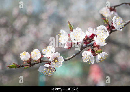 Branch of apricot tree in blossom. Texture, background, background, blossoming fruit trees, apricot tree blossoms. Conceptual background. Comparison - Stock Photo