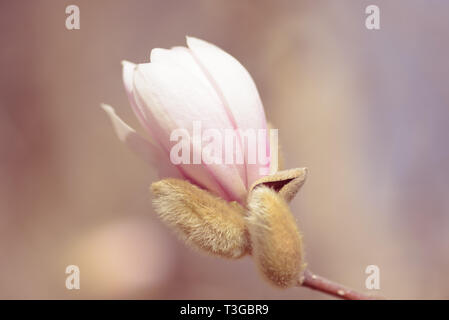 Magnolia is a large genus of about 210 flowering plant species in the subfamily Magnolioideae of the family Magnoliaceae. It is named after French bot - Stock Photo
