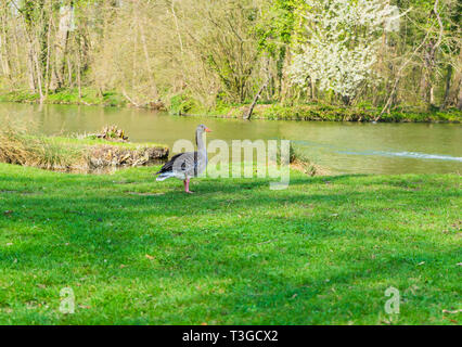 goose on the shore of a lake - Stock Photo