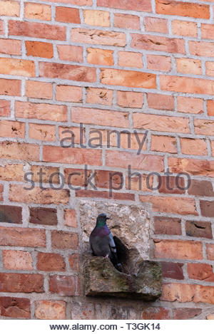 A Common pigeon perches outside its nest in a brick wall. - Stock Photo
