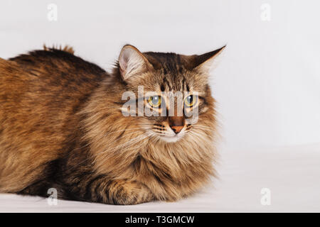 Gray tabby furry cute cat lying on a light wall background, close-up. Striped fluffy cat with a long mustache portrait. - Stock Photo