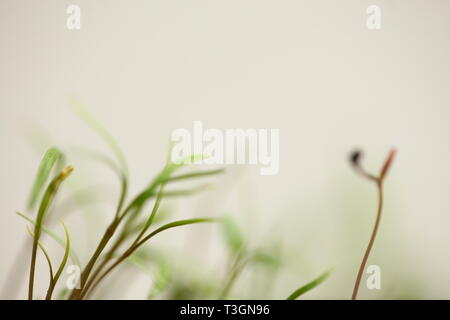 green dill sprouts - Stock Photo