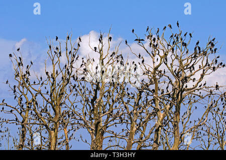 Colony of great cormorants (Phalacrocorax carbo) perched in dead tree in summer - Stock Photo