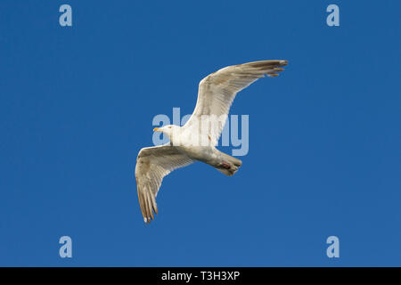 European herring gull (Larus argentatus) in flight against blue sky - Stock Photo