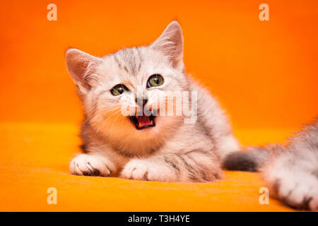 Gray white British kitten meows lying on an orange background and looks away Stock Photo