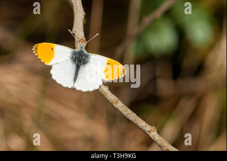 Male Orange tip butterfly resting on twig - Stock Photo