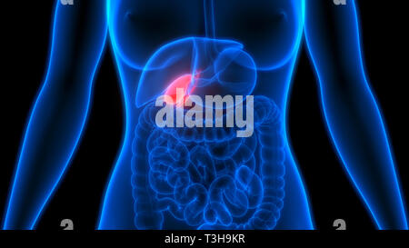 Human Internal Organs Gallbladder Anatomy - Stock Photo