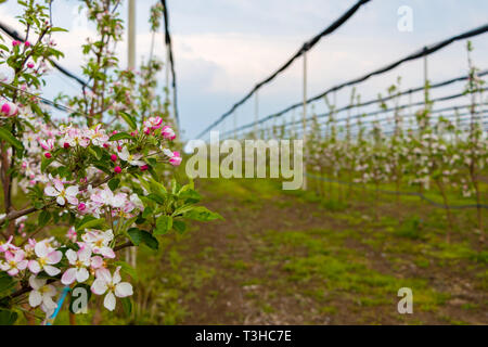 Flowers on the Golden Delicious apple tree in April - Stock Photo