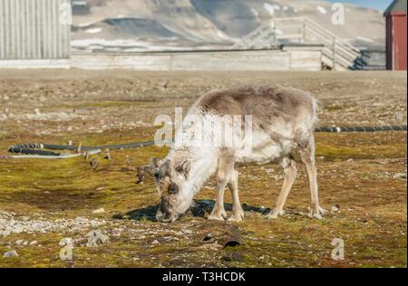 Grasing Reindeer closeup, Svalbard (Spitsbergen), Norway | Nahaufnahme eines grasenden Rentiers, Spitzbergen (Spitsbergen), Norwegen - Stock Photo