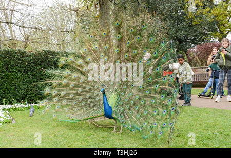 An Indian Peacock (Peafowl) in display mode in Holland Park, London, UK - Stock Photo