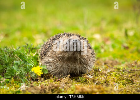 Hedgehog, wild, native, European hedgehog with head raise and teeth showing. In natural woodland habitat. Erinaceus Europaeus.  Landscape. Copyspace - Stock Photo