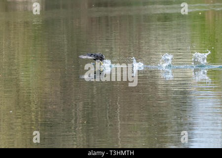 Coots (fulica atra) showing aggressive fighting territorial behaviour in early spring and running across a still calm lake - Stock Photo