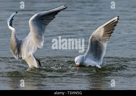 Black headed gulls in winter plumage diving for bread - Stock Photo