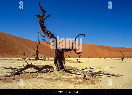 Remains of ancient trees on the white clay crusts bordered by the desert dunes typical of Deadvlei, near Sussvlei in the coastal desert of Namibia. - Stock Photo