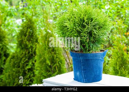 Thuja plant in pot, Cypresses plants on background. Garden design. - Stock Photo