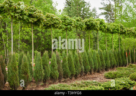 Rows of young maple trees, thuja plants and juniper bushes. Alley of seedling of trees, bushes, plants at plant nursery. - Stock Photo