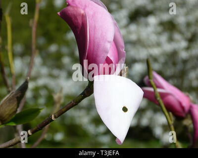 single white-red magnolia blossom with blurred magnolia petals as background - Stock Photo